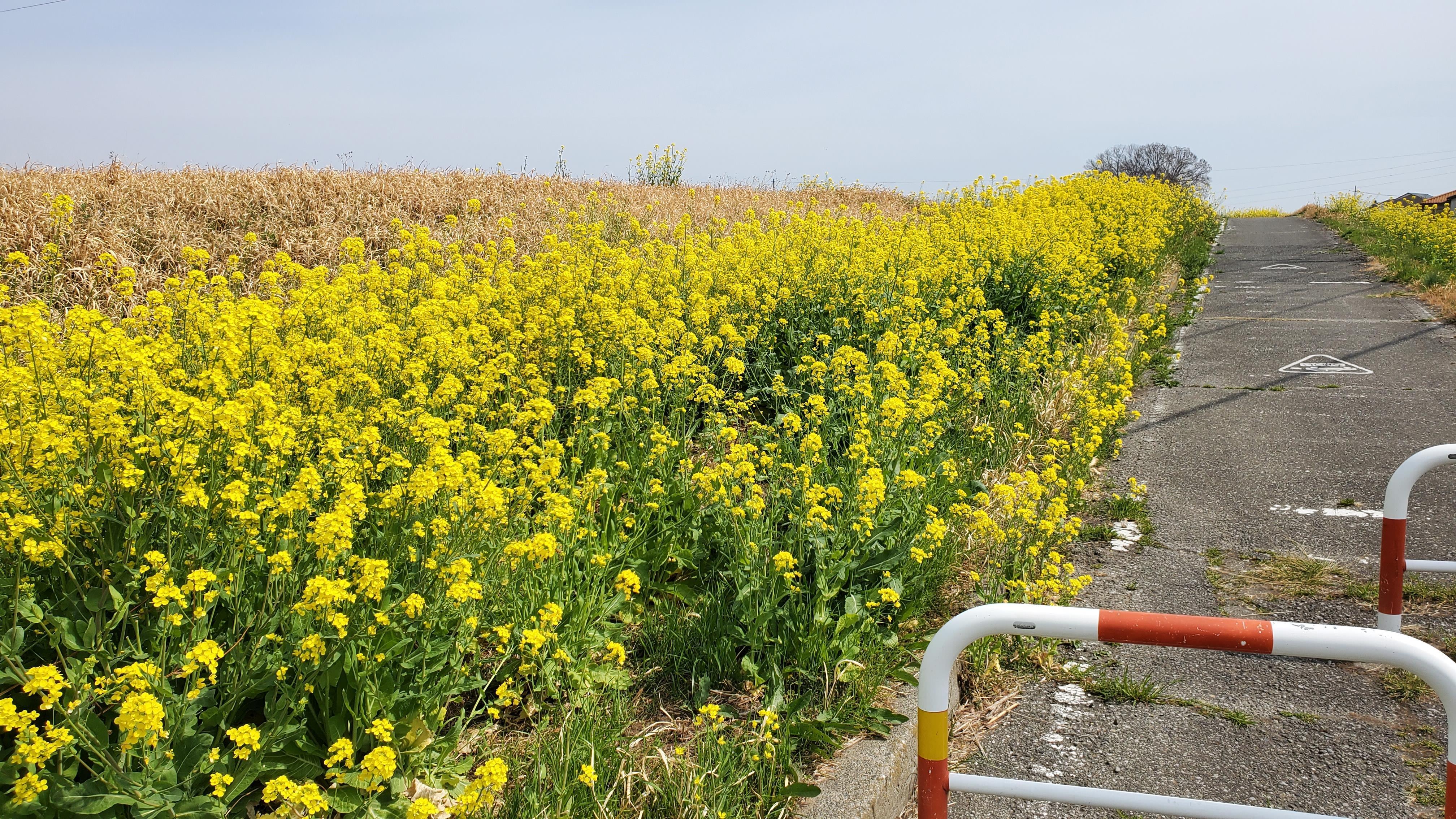散歩道を彩る菜の花たち...☆